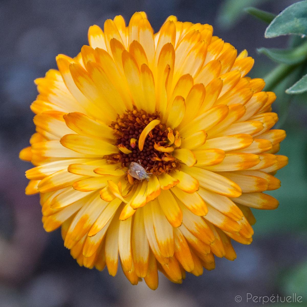 Massif comestible fleurs de soucis