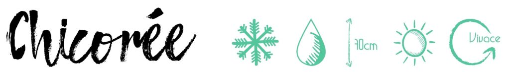Chicorée pictogramme