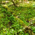Plantes couvre-sols comestibles