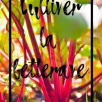 Cultiver la betterave en permaculture