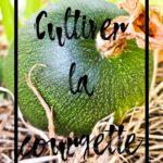 Cultiver la courgette en permaculture