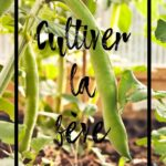 Cultiver la fève en permaculture