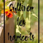 Cultiver les haricots en permaculture