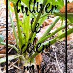 Cultiver le céleri rave en permaculture au potager