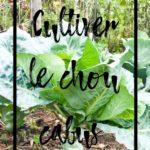 Cultiver le chou cabus en permaculture au potager