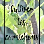 Cultiver le cornichon en permaculture au potager