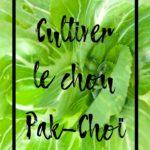 Cultiver le chou chinois Pak-Choï au potager en permaculture