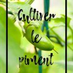 Cultiver le piment au potager en permaculture