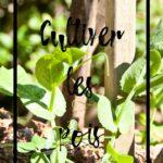 Cultiver les pois au potager en permaculture